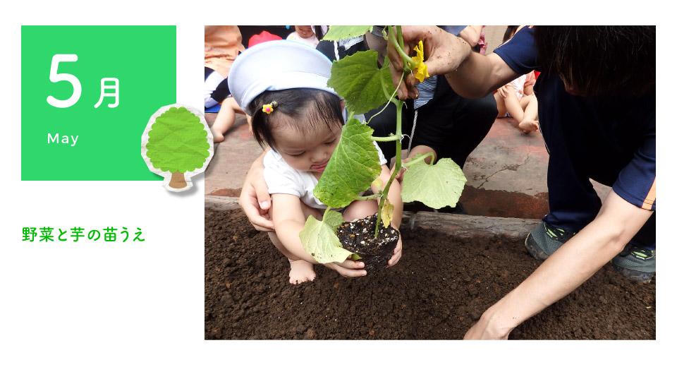 5月 野菜と芋の苗植え